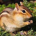 Afternoon Snack - Eastern Chipmunk  by Bruce J Robinson