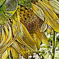 Afternoon Sunflower by Linda Clifford