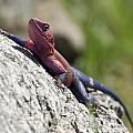 Agama Lizard by Rakesh Malik