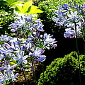 Agapanthus by Tanya  Searcy
