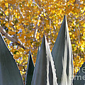 Agave Spikes In Autumn by Alycia Christine