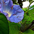 Aging Morning Glory by Debbie Portwood