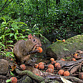 Agouti Dasyprocta Punctata Feeding by Christian Ziegler