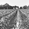 Agriculture- Corn 2 by Karen Wagner