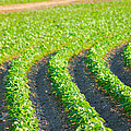 Agriculture- Soybeans 3 by Karen Wagner