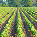 Agriculture-soybeans 5 by Karen Wagner