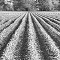 Agriculture-soybeans 6 by Karen Wagner