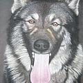 Akita And German Shepherd Mix  by Louise Macarthur Art and Photography