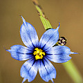 Alabama Blue-eyed Grass Wildflower - Sisyrinchium Angustifolium by Kathy Clark