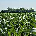Alabama Field Corn Crop by Kathy Clark