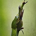Alabama Green Tree Frog - Hyla Cinerea by Kathy Clark