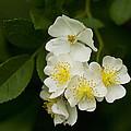 Alabama Wildflower Roses - Rosa Multiflora by Kathy Clark