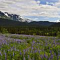 Alaska Lupine by Wes and Dotty Weber