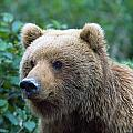 Alaskan Brown Bear by Natural Selection David Ponton