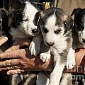 Alaskan Huskey Puppies by John Greim