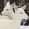 Albino White Tailed Deers by Photos by Michael Crowley