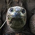 Aldabra Tortoise by CJ Clark