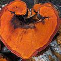 Alder Heart by Derek Holzapfel