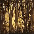 Alder Tree Marshland At Sunrise by Norbert Rosing