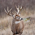 Alert Whitetail Buck by D Robert Franz