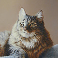 Alexi Maine Coon by Barbara Groff