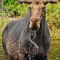 Algonquin Bull by Joshua McCullough