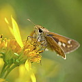 Alighted Skipper by JD Grimes