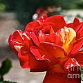 All American Magic Rose by Susan Herber
