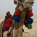 Camel Fashion by Bob Christopher