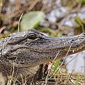 Alligator 1 by Helen Haw