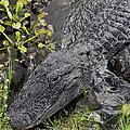 Alligator Alley Friend  by G Adam Orosco