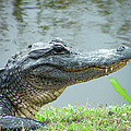 Alligator Cameron Prairie Nwr La by Lizi Beard-Ward