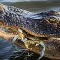 Alligator Catches Two Crabs by Paulette Thomas