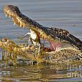 Alligator Get Lunch by TJ Baccari