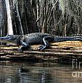 Alligator Sunning by Barbara Bowen