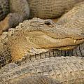 Alligators by Don Hammond