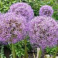 Allium Flower (allium Sp.) by Tony Craddock