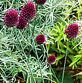 Allium Sphaerocephalum Flowers by Archie Young