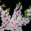 Almond Blossom 0979 by Michael Peychich
