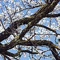 Almond Blossom by Dirk Wiersma
