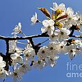 Almond Tree In Flower At Spring by Sami Sarkis
