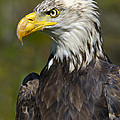 Almost There - Bald Eagle by Tony Beck