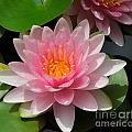 Almost Two Pink Water Lilies by Renee Trenholm