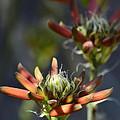 Aloe Vera Blossoms  by Saija  Lehtonen
