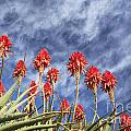 Aloes South Africa by Neil Overy