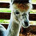 Alpaca Closeup by Susan Savad