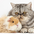 Alpaca Guinea Pig And Silver Tabby Cat by Mark Taylor