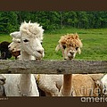 Alpacas-i by Patricia Overmoyer