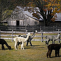 Alpacas In Vermont by Nancy Griswold