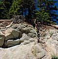 Alpine Pine Hangs On For Life by LeeAnn McLaneGoetz McLaneGoetzStudioLLCcom